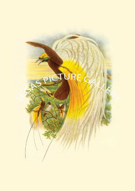Fine art print of the Lesser Bird of Paradise by John Gould (1838-40)